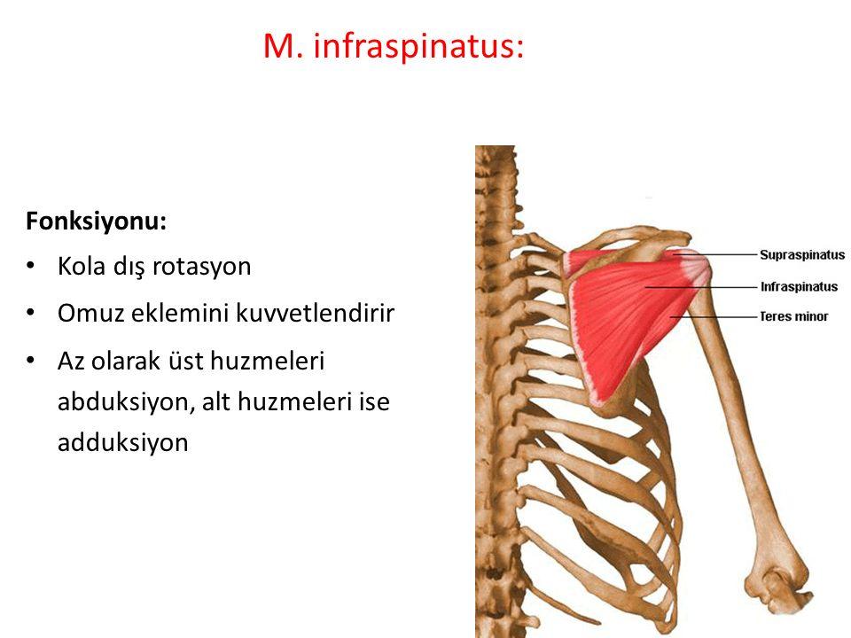 M. infraspinatus: Fonksiyonu: Kola dış rotasyon
