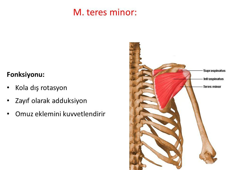 M. teres minor: Fonksiyonu: Kola dış rotasyon Zayıf olarak adduksiyon