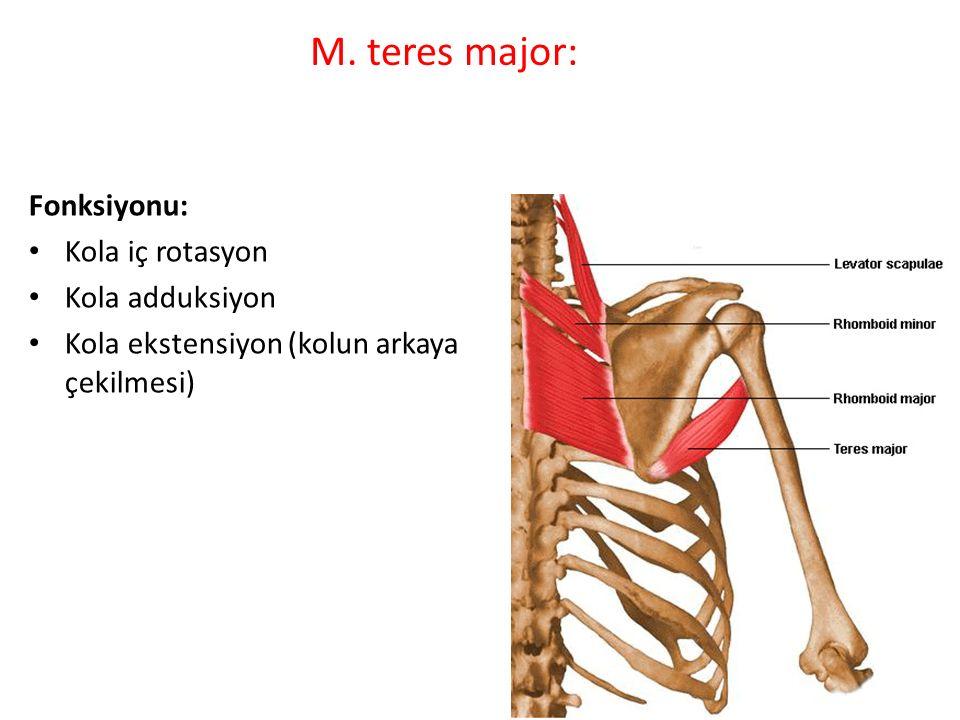 M. teres major: Fonksiyonu: Kola iç rotasyon Kola adduksiyon