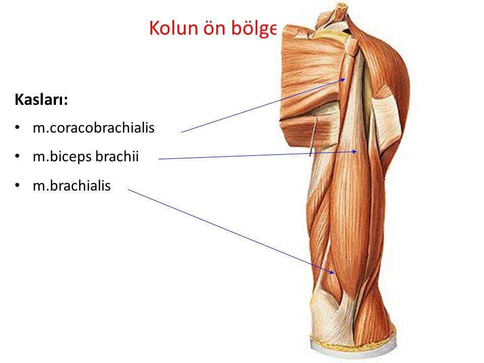 Kolun ön bölgesi: Kasları: m.coracobrachialis m.biceps brachii