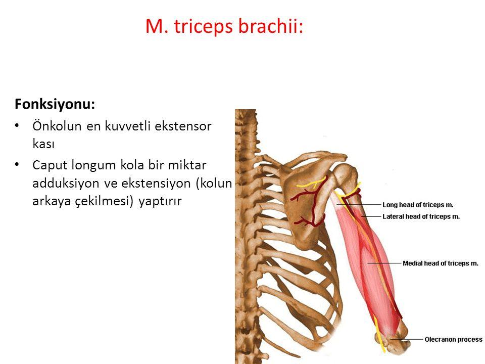 M. triceps brachii: Fonksiyonu: Önkolun en kuvvetli ekstensor kası