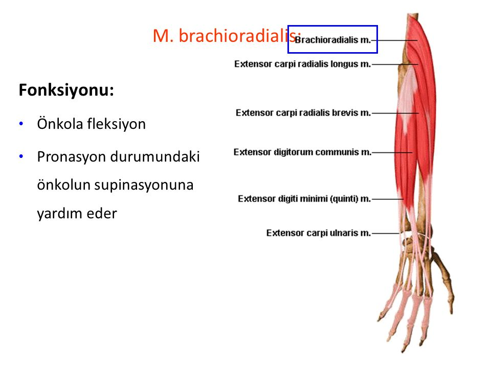 M. brachioradialis: Fonksiyonu: Önkola fleksiyon