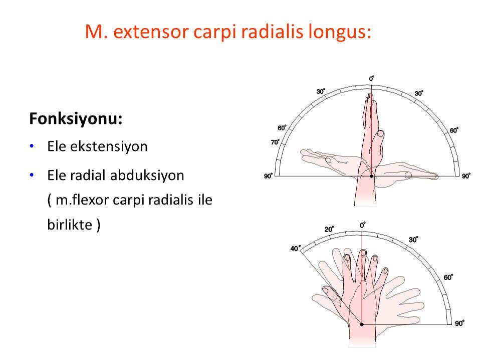 M. extensor carpi radialis longus: