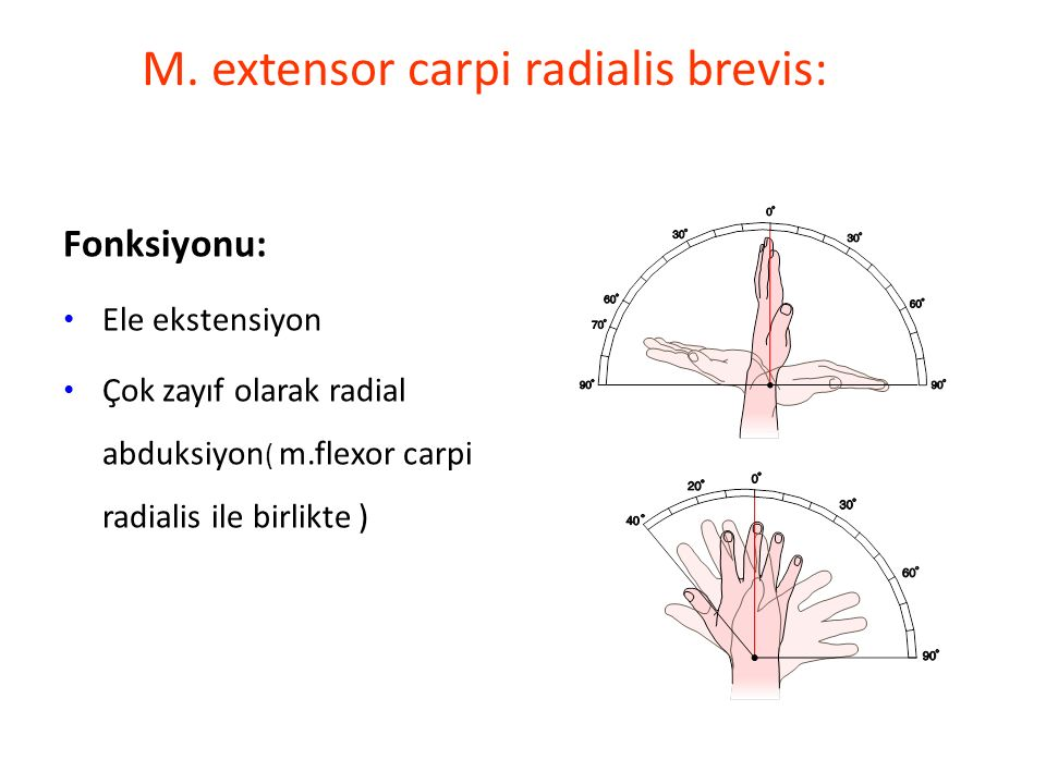 M. extensor carpi radialis brevis:
