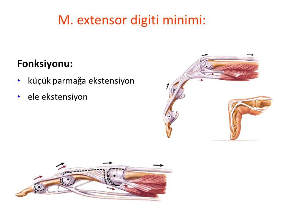 M. extensor digiti minimi: