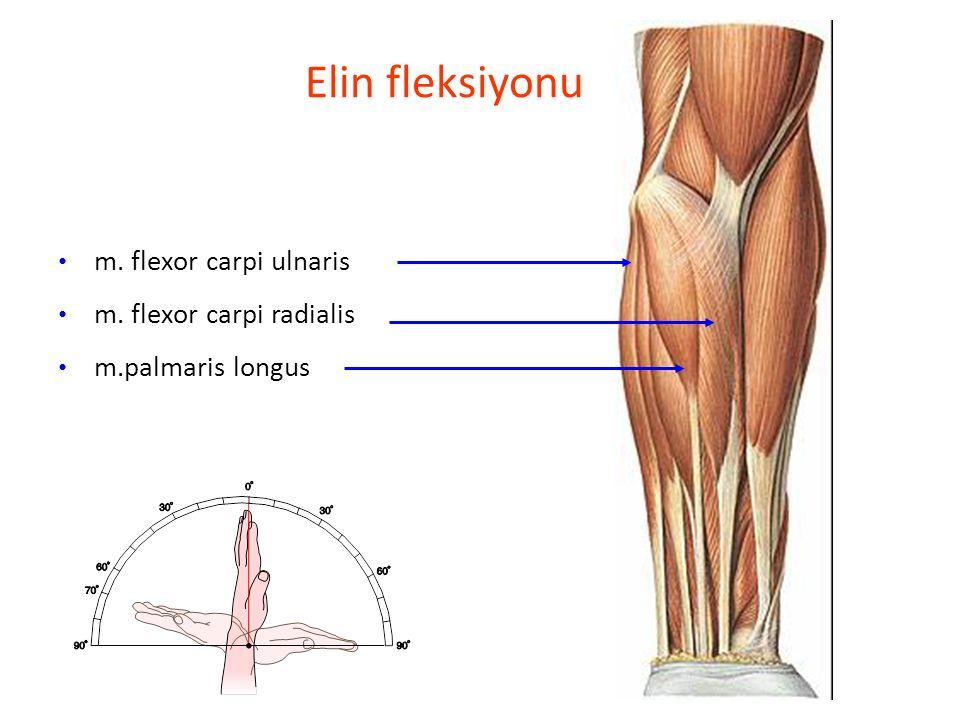 Elin fleksiyonu m. flexor carpi ulnaris m. flexor carpi radialis