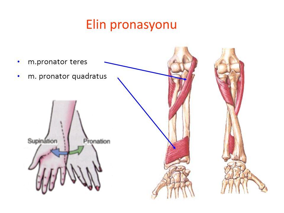Elin pronasyonu m.pronator teres m. pronator quadratus