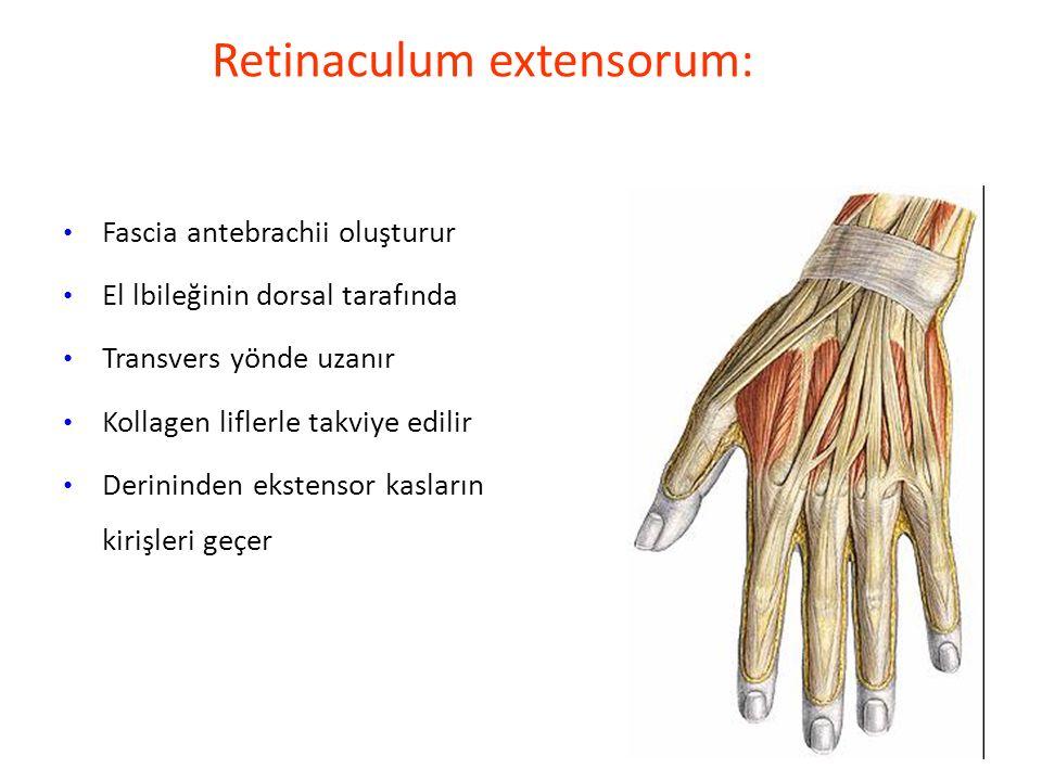 Retinaculum extensorum: