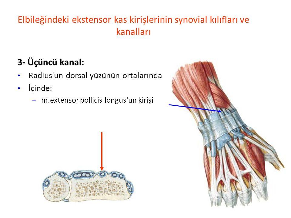 Elbileğindeki ekstensor kas kirişlerinin synovial kılıfları ve kanalları