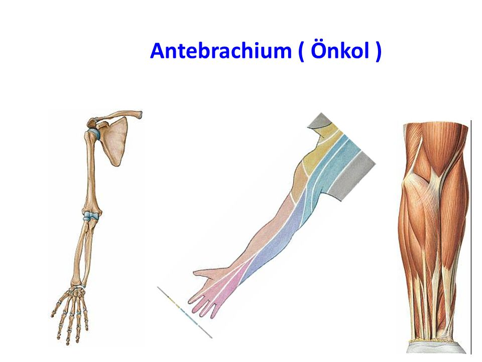 Antebrachium ( Önkol )