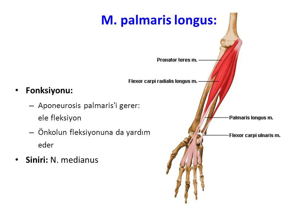 M. palmaris longus: Fonksiyonu: Siniri: N. medianus