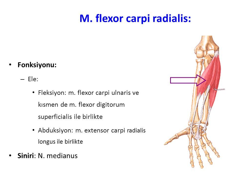 M. flexor carpi radialis: