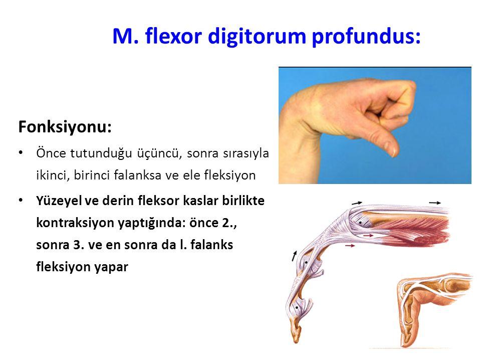 M. flexor digitorum profundus: