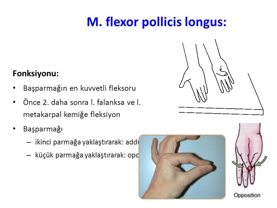 M. flexor pollicis longus: