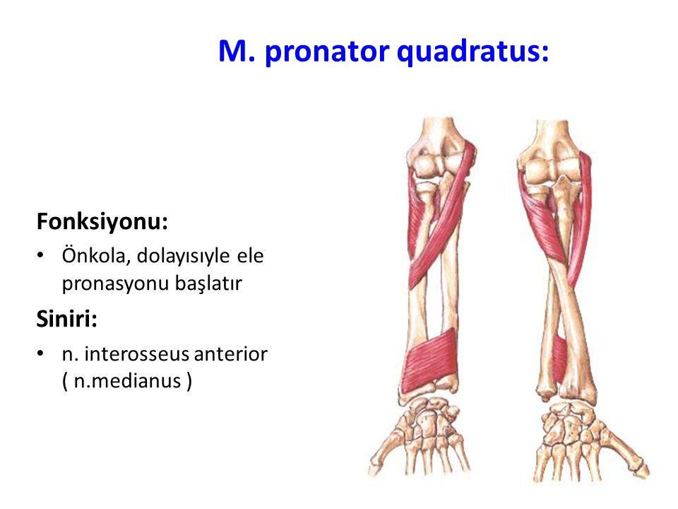 M. pronator quadratus: Fonksiyonu: Siniri: