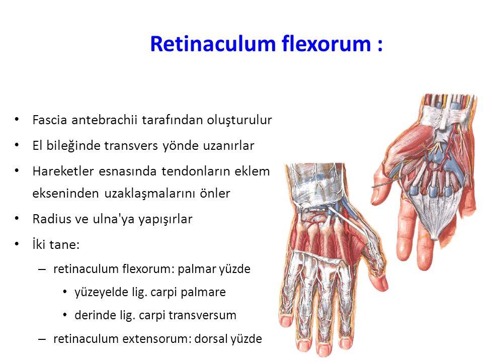 Retinaculum flexorum :