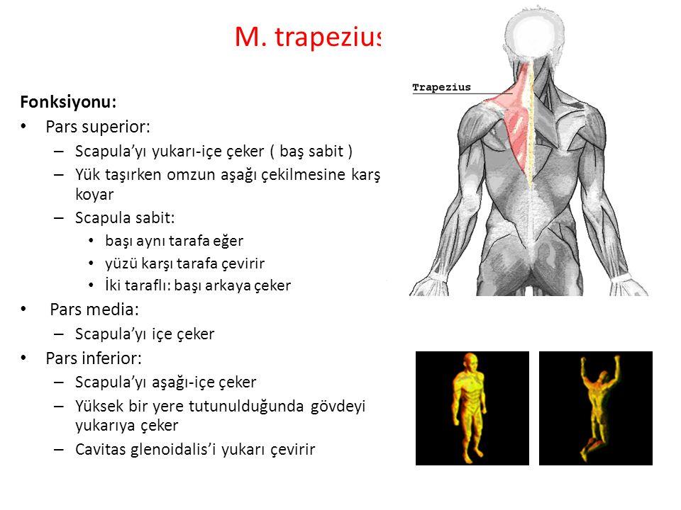 M. trapezius: Fonksiyonu: Pars superior: Pars media: Pars inferior: