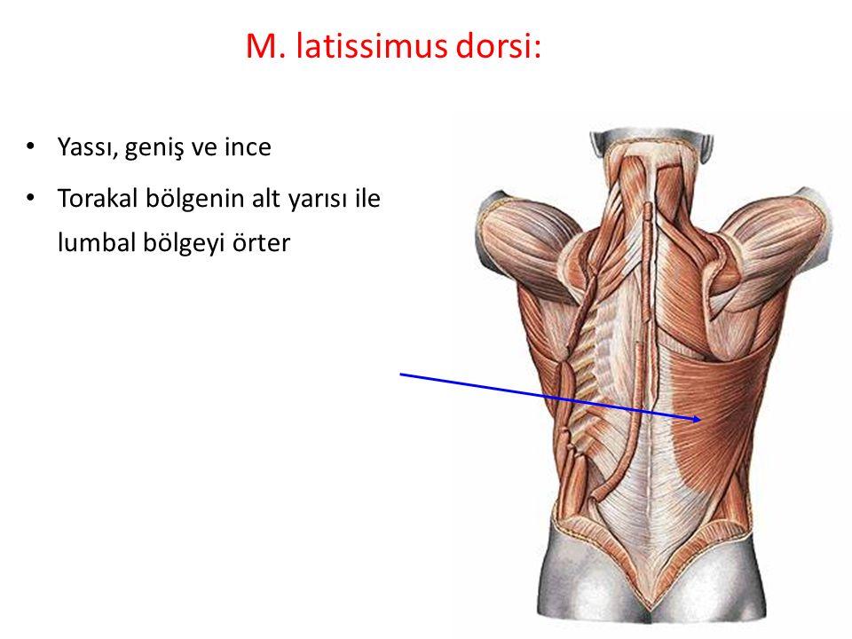 M. latissimus dorsi: Yassı, geniş ve ince
