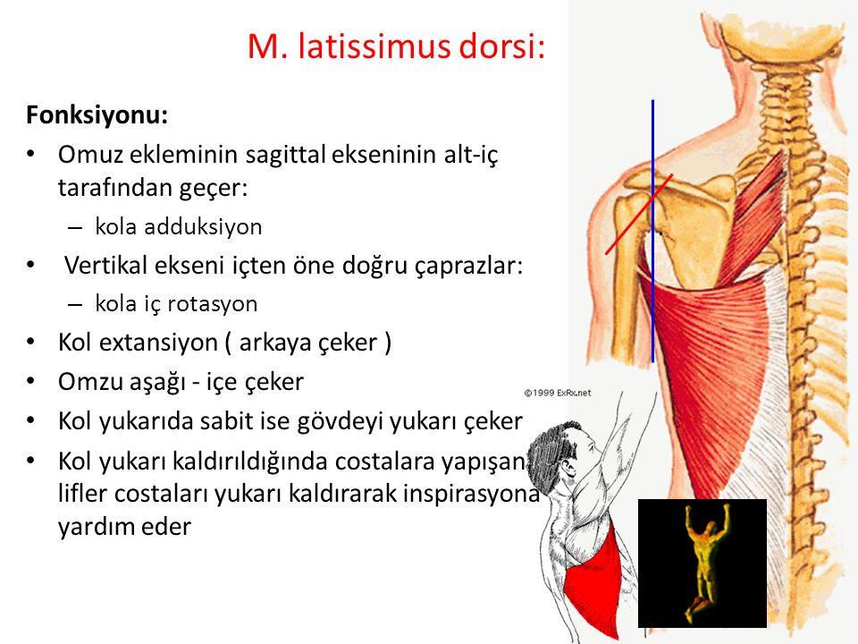 M. latissimus dorsi: Fonksiyonu: