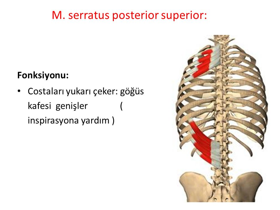 M. serratus posterior superior: