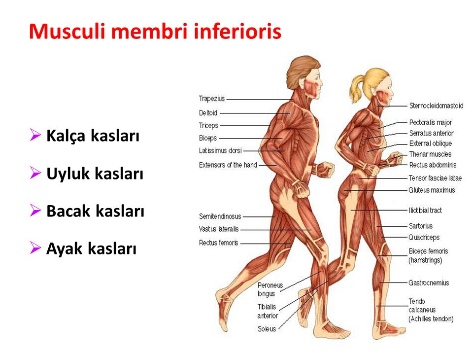 Musculi membri inferioris