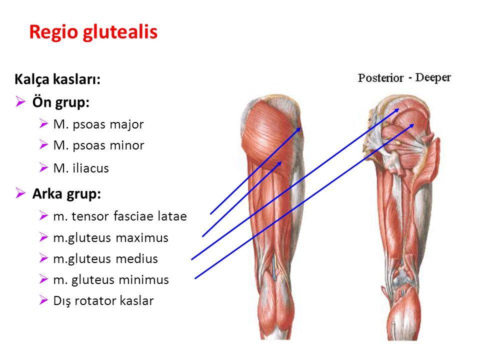 Regio glutealis Kalça kasları: Ön grup: Arka grup: M. psoas major
