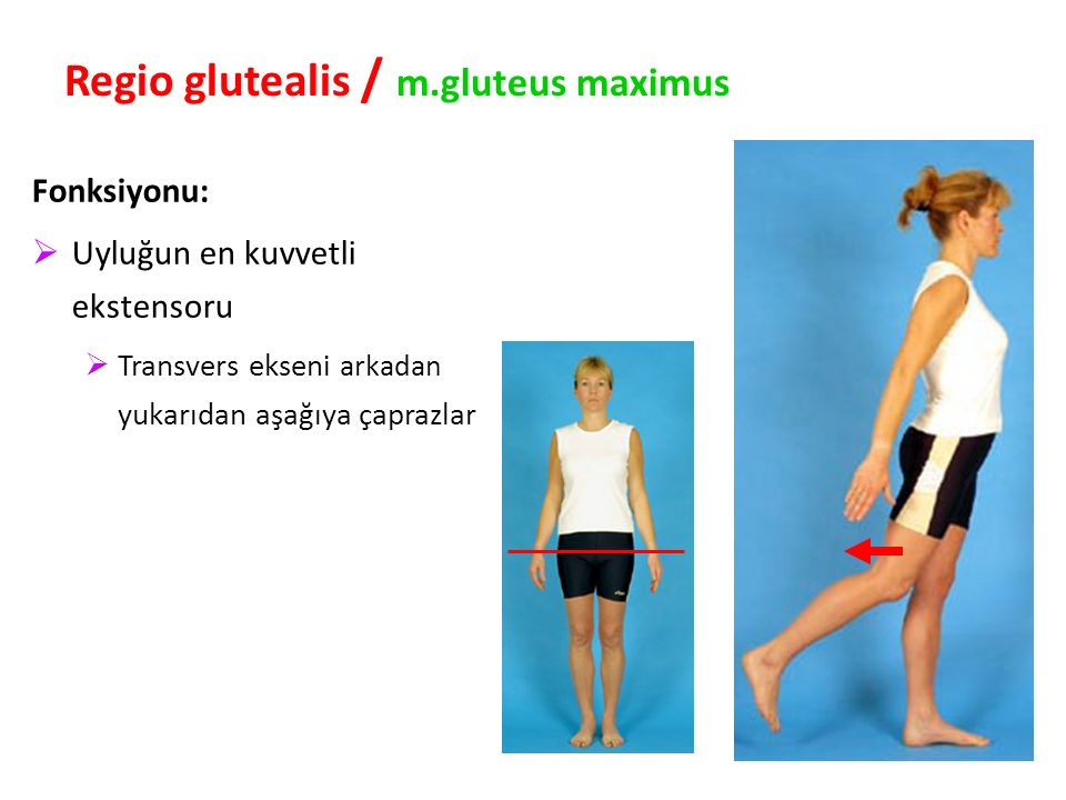 Regio glutealis / m.gluteus maximus