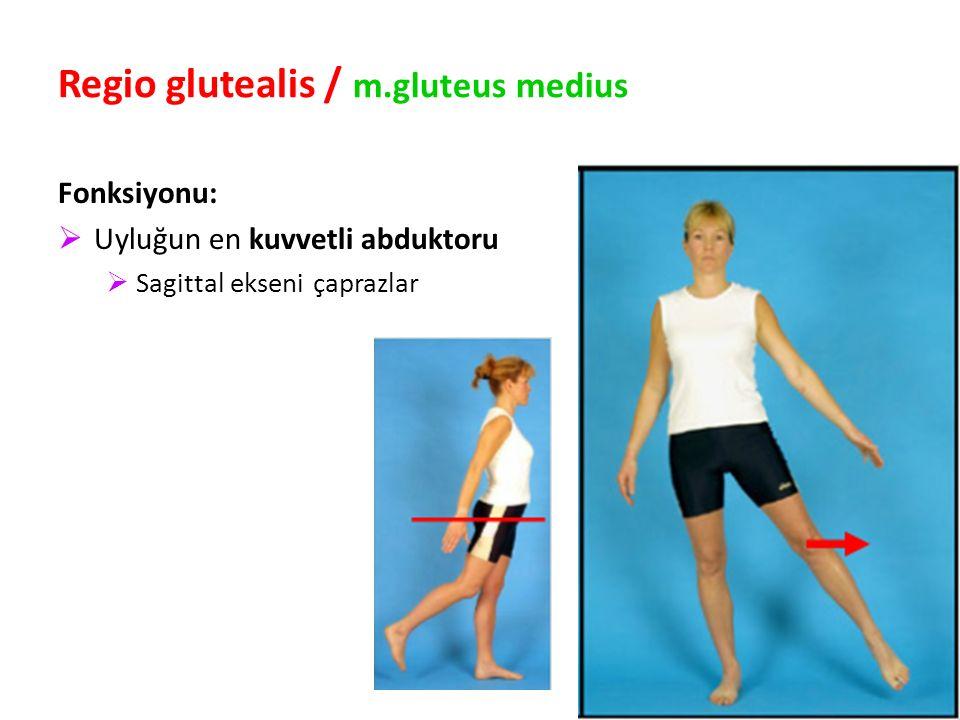 Regio glutealis / m.gluteus medius