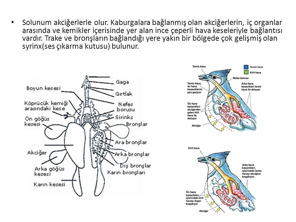 Solunum akciğerlerle olur