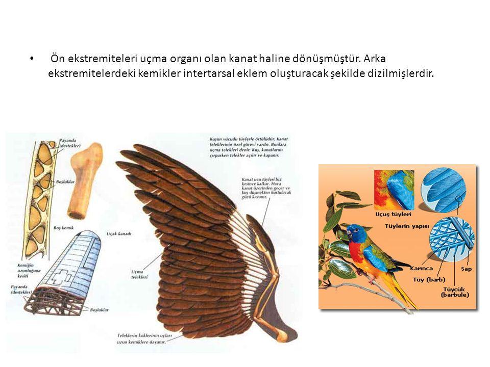 Ön ekstremiteleri uçma organı olan kanat haline dönüşmüştür