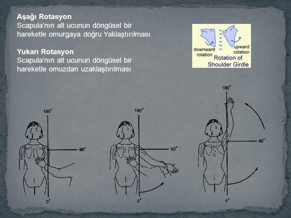Aşağı Rotasyon Scapula'nın alt ucunun döngüsel bir hareketle omurgaya doğru Yaklaştırılması. Yukarı Rotasyon.