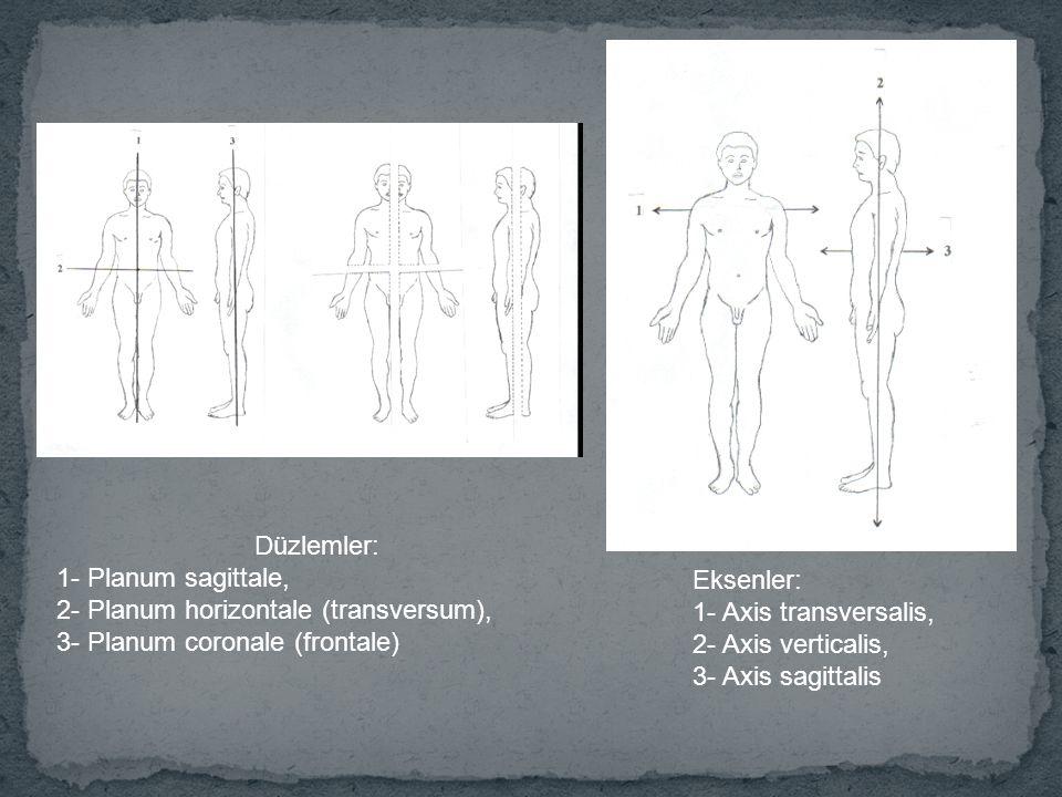 Düzlemler: 1- Planum sagittale, 2- Planum horizontale (transversum), 3- Planum coronale (frontale)