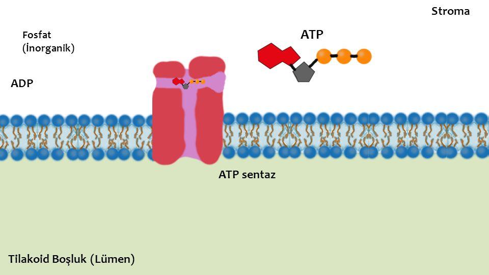 Stroma Fosfat (İnorganik) ATP ADP ATP sentaz Tilakoid Boşluk (Lümen)