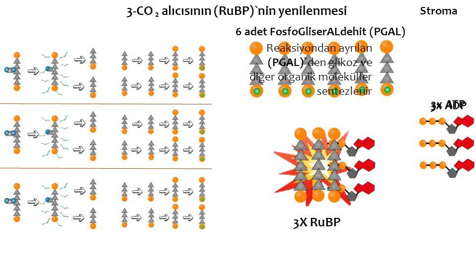 3-CO ₂ alıcısının (RuBP)`nin yenilenmesi