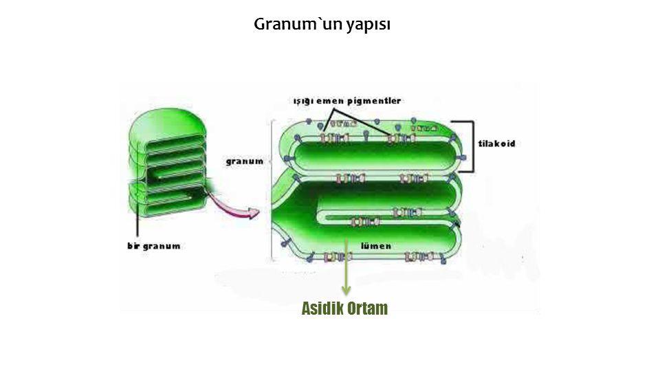 Granum`un yapısı Asidik Ortam