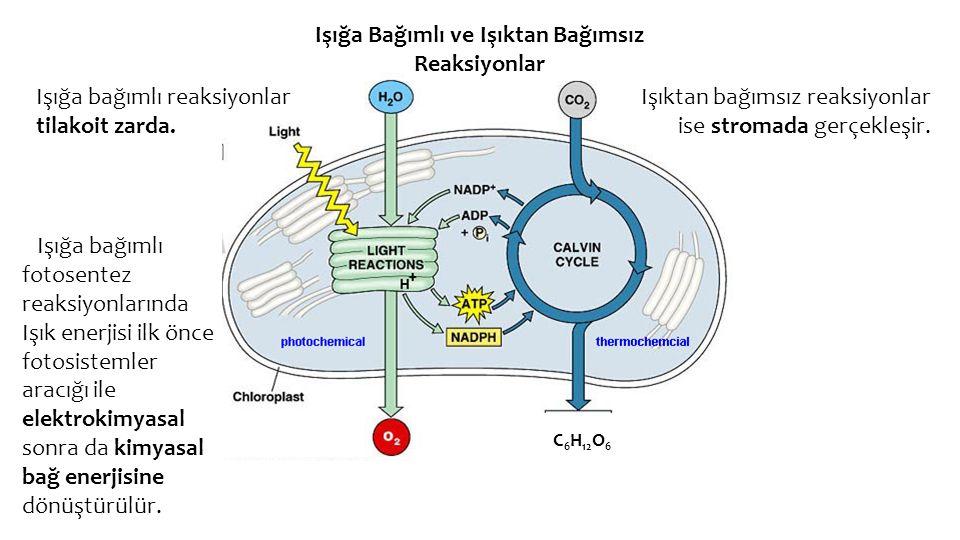 Işığa Bağımlı ve Işıktan Bağımsız Reaksiyonlar