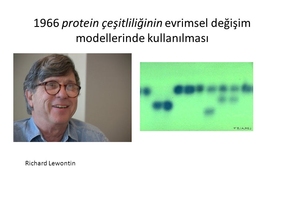 1966 protein çeşitliliğinin evrimsel değişim modellerinde kullanılması