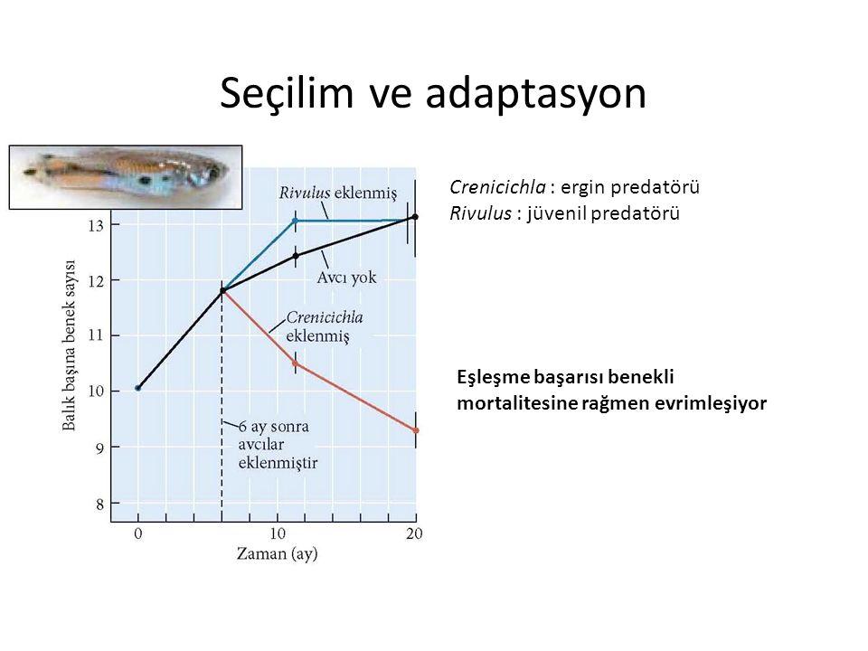 Seçilim ve adaptasyon Crenicichla : ergin predatörü