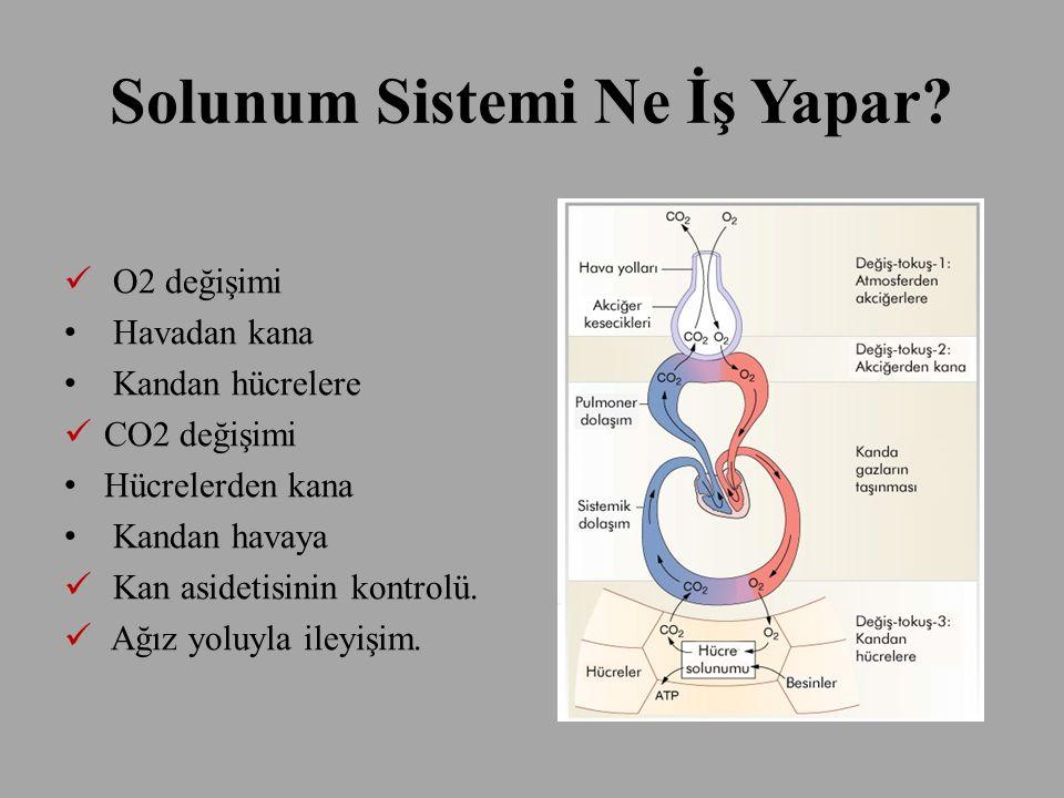 Solunum Sistemi Ne İş Yapar