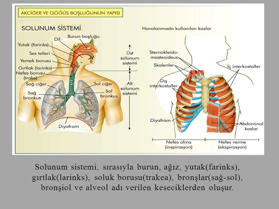 Solunum sistemi, sırasıyla burun, ağız, yutak(farinks), gırtlak(larinks), soluk borusu(trakea), bronşlar(sağ-sol), bronşiol ve alveol adı verilen keseciklerden oluşur.