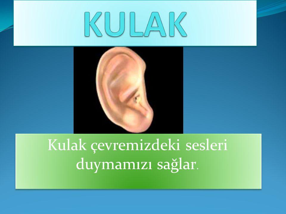 Kulak çevremizdeki sesleri duymamızı sağlar.