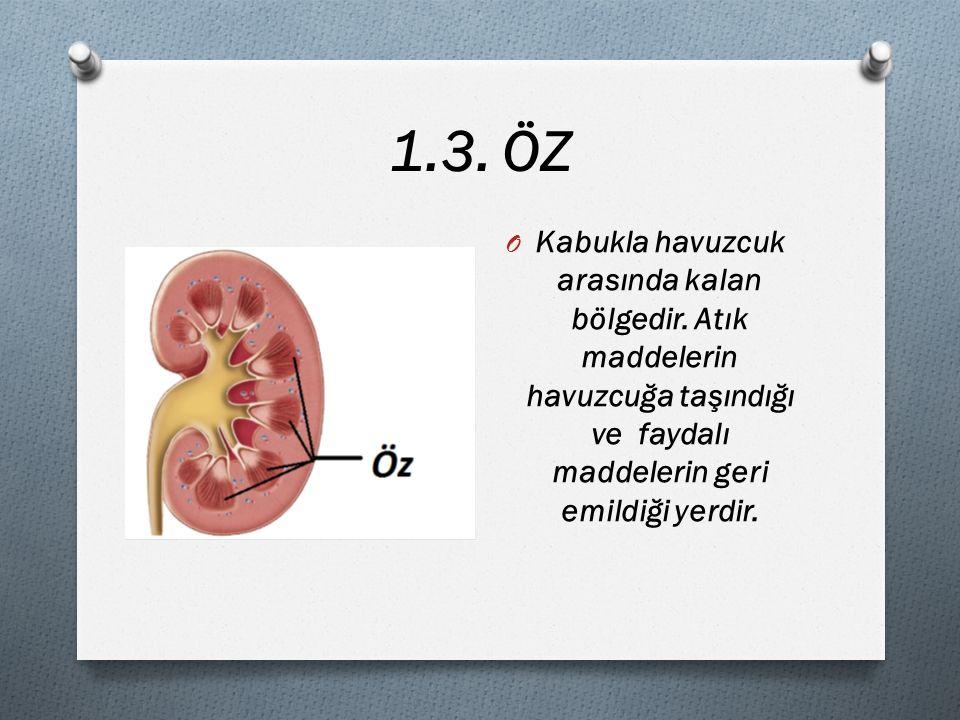 1.3. ÖZ Kabukla havuzcuk arasında kalan bölgedir.
