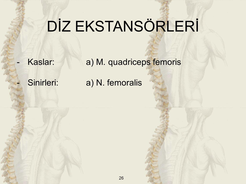DİZ EKSTANSÖRLERİ Kaslar: a) M. quadriceps femoris