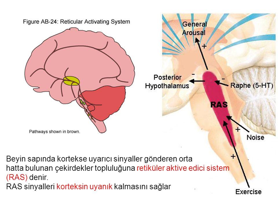 Beyin sapında kortekse uyarıcı sinyaller gönderen orta
