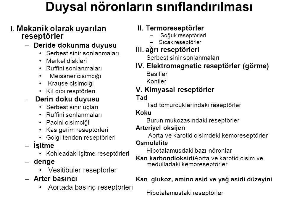 Duysal nöronların sınıflandırılması