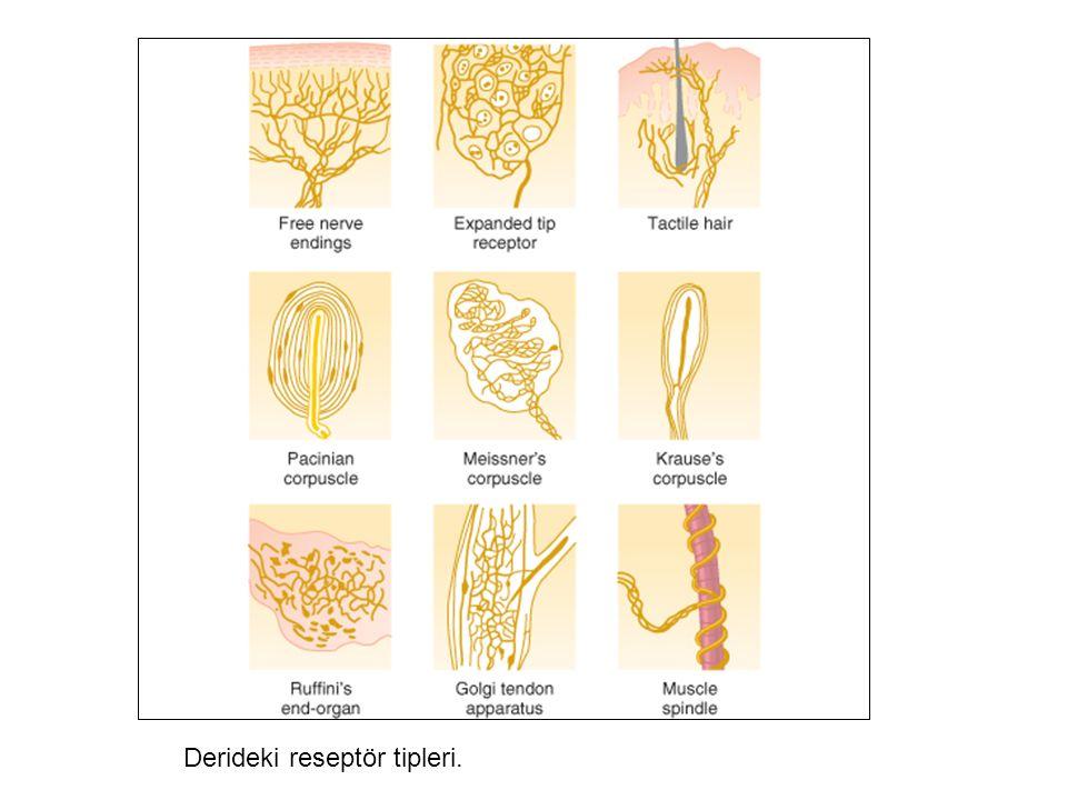 Derideki reseptör tipleri.