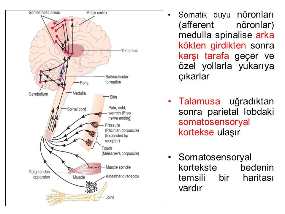 Somatosensoryal kortekste bedenin temsili bir haritası vardır