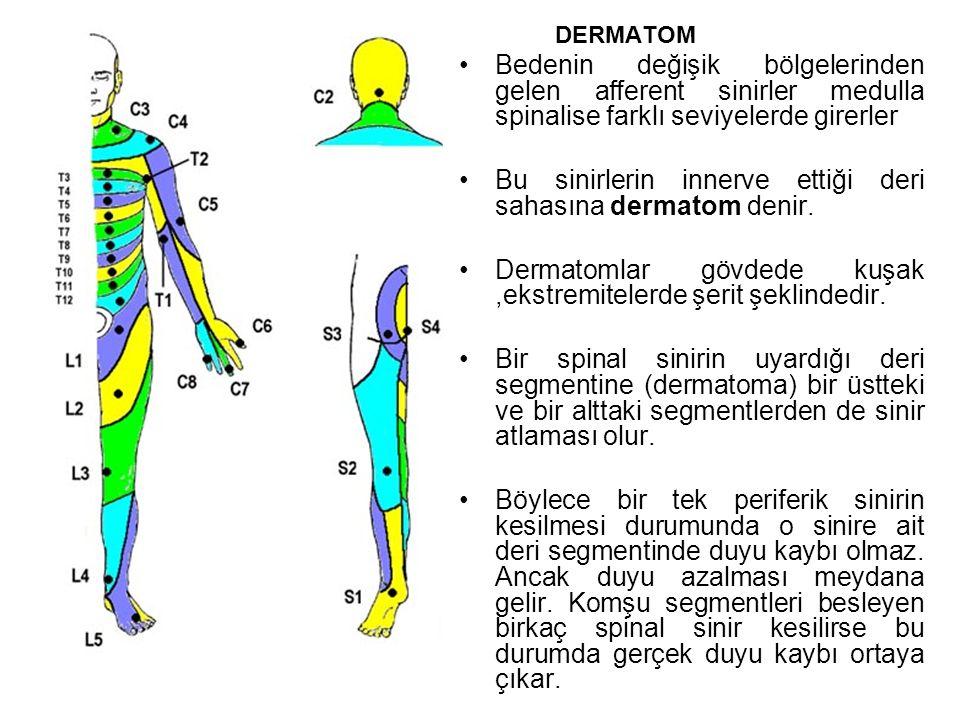 Bu sinirlerin innerve ettiği deri sahasına dermatom denir.