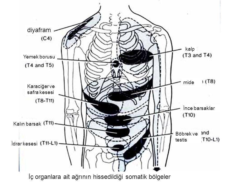 İç organlara ait ağrının hissedildiği somatik bölgeler