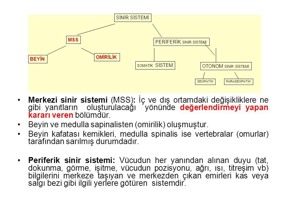 Beyin ve medulla sapinalisten (omirilik) oluşmuştur.